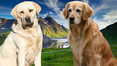 golden retriever vs labrador retriever difference yellow lab vs golden retriever shedding dogs in our photo