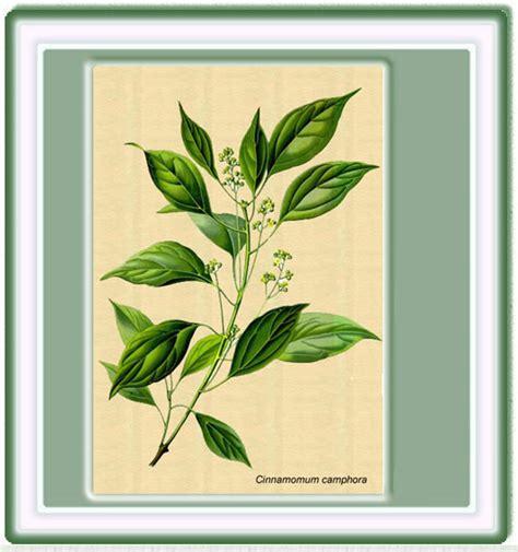 imagenes de flores medicinales dibujos plantas medicinales imagui