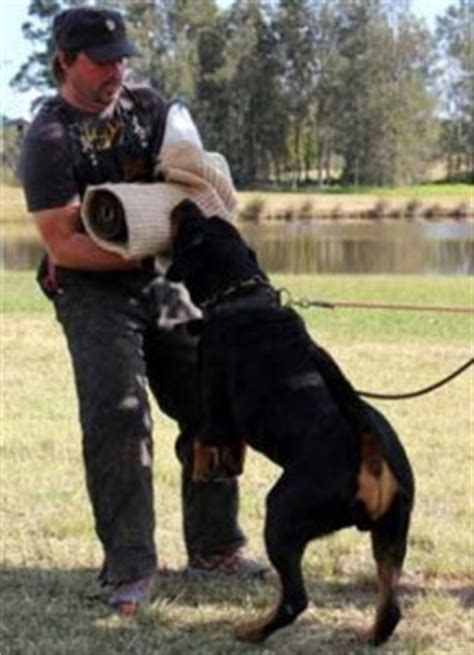 how to stop your rottweiler from shedding rottweiler grooming tips coalfire rottweilers