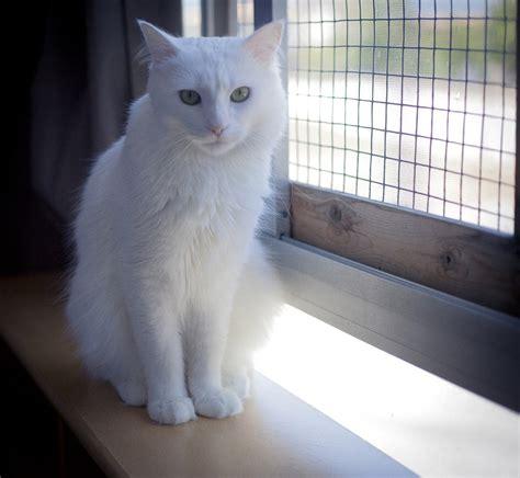 fotos de gatos gatos angora gemelos jpg pictures to pin on pinterest gato angora animales mascotas mercafauna