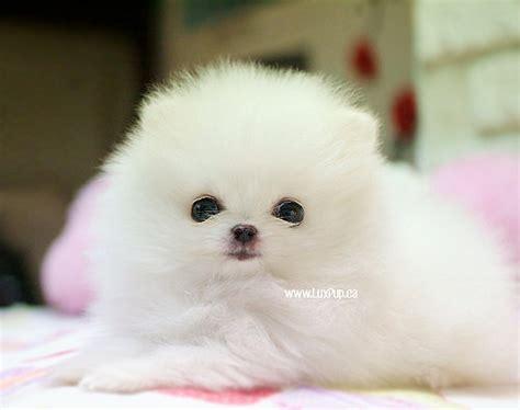 are teacup pomeranians healthy pup teacup pomeranian puppies