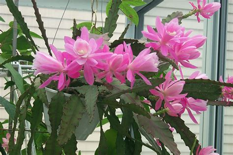 tanaman hias jenis  manfaat bunga wijaya kusuma
