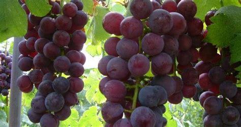 nama latinnama ilmiah buah buahan  gambarnya jendela
