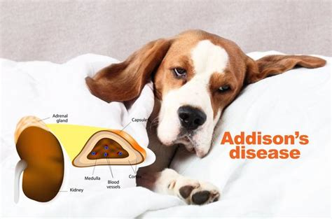 addisons disease in dogs s disease treatment prevention