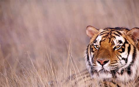 wallpaper laptop harimau wallpaper db bengal tiger pictures
