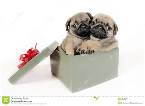 puppy present puppies present stock photography image 7749672