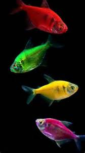 glofish colors has anyone see the quot glofish twilight tetras quot they look