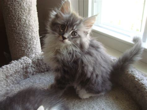 Himalayan Maine Coon kittens for sale