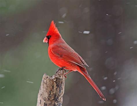 cardinals in the winter cardinals pinterest
