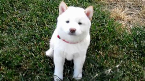 shiba inu puppies shiba inu white puppy puppies puppy