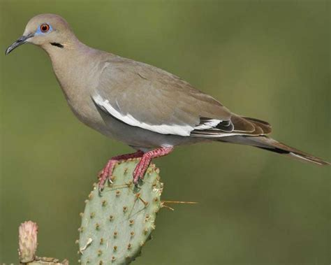 wat doesa brid dove look like what does a dove look like migratory bird forum