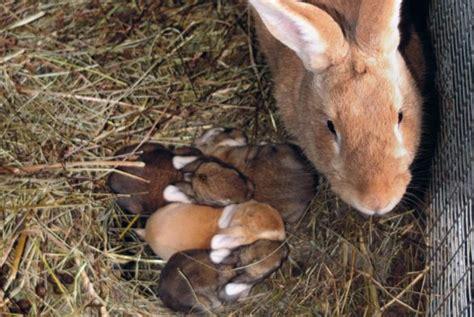 alimentazione coniglio da carne allevamento conigli pareggiamento delle nidiate vita in