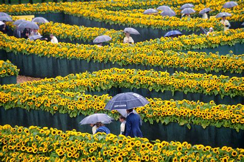 amsterdam museum flowers museumplein turns yellow with 125 000 sunflowers at the