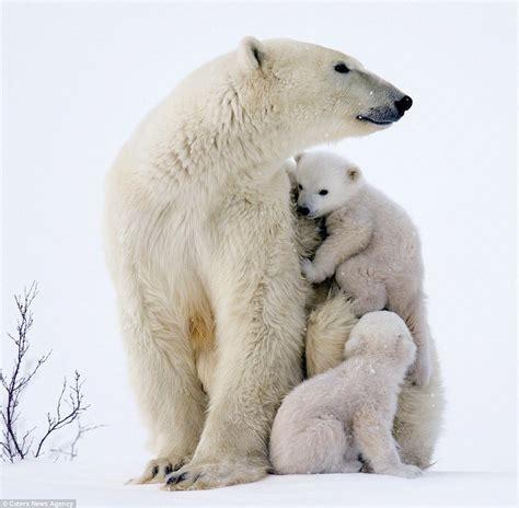 adorable polar bears cubs clamber  mom  canada cute