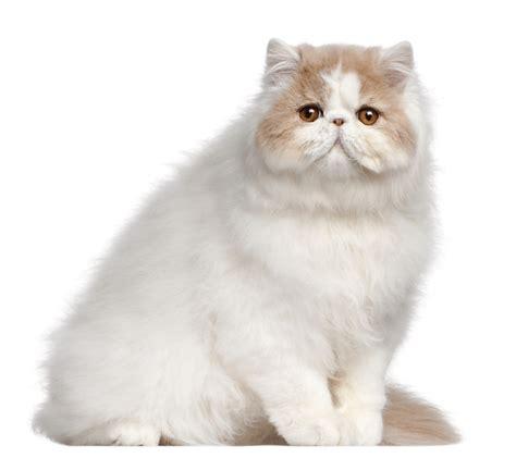 cats breeders breeders australia info kittens
