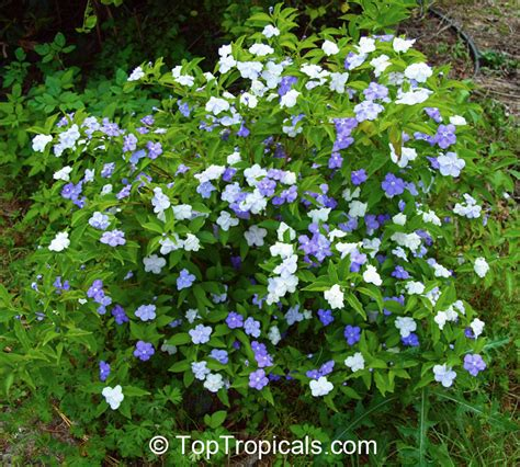 Most Fragrant Lavender Plants - brunfelsia australis brunfelsia bonodora brunfelsia latifolia yesterday today and tomorrow