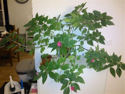Plante Porte Malheur by Taille D Une Quot Goutte De Sang Quot Au Jardin Forum De Jardinage