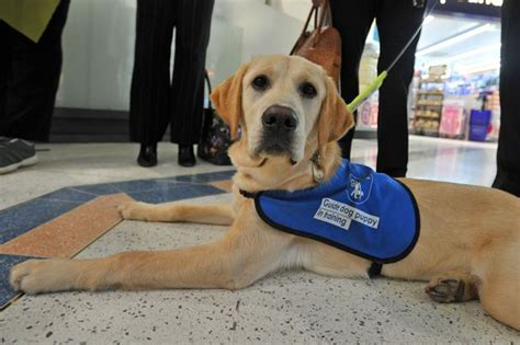 how are guide dogs trained do you want to volunteer with guide dogs for the blind huddersfield examiner