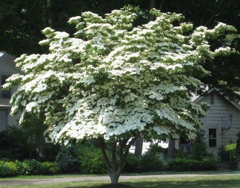 image gallery kousa dogwood tree
