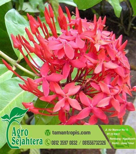 Bibit Bunga Di Indonesia jual bibit bunga asoka merah
