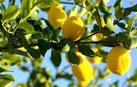 concimare limoni in vaso concime per limoni piante da frutta concimare i limoni