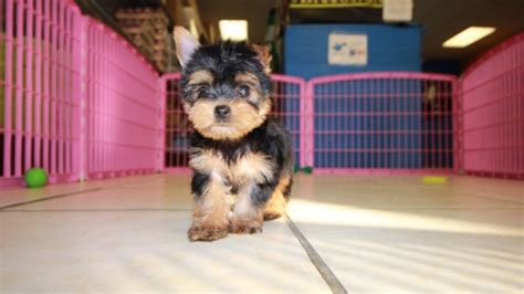 yorkie atlanta teacup terrier for sale in atlanta dogs our friends photo