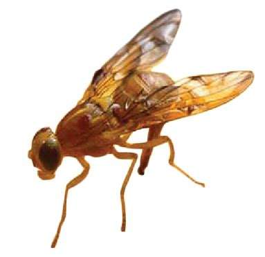fruit fly the mexican fruit fly citrus alert