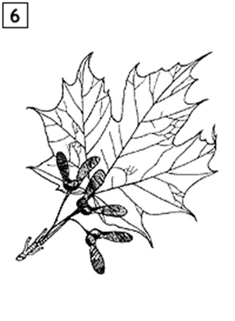 mainefoliagecom kids page maine tree guide