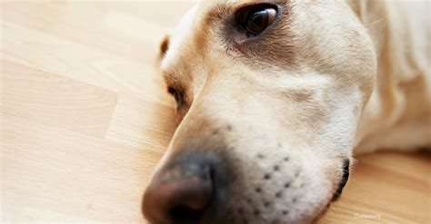 xylitol dogs xylitol poisoning in dogs a deadly sugar substitue
