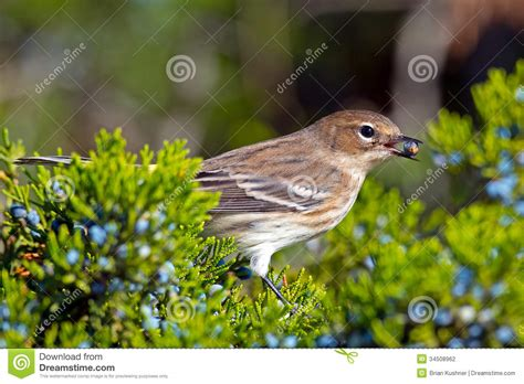 yellow rumped warbler stock photography image 34508962