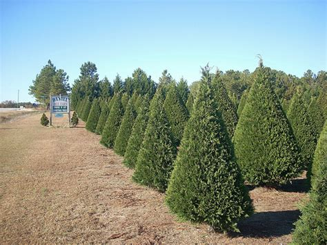 raleigh tree farm tree farms near raleigh and greensboro carolina trekaroo