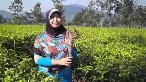 benalu teh asli khasiat manfaat obat kanker kista miom