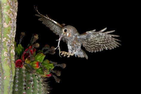 elf owl facts habitat diet life cycle baby pictures