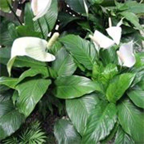 piante d appartamento con fiori piante da appartamento con fiori piante appartamento