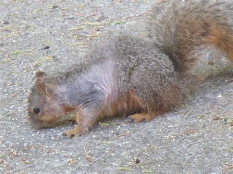 Hair Loss In Squirrels | hair loss in squirrels may be nothing to fret about