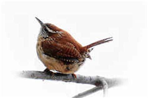 state bird of carolina south carolina state bird carolina wren