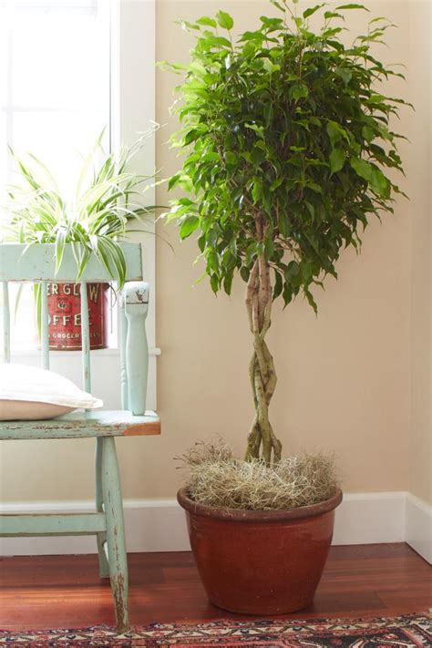 diy make tree light indoors tips for caring for your ficus tree hgtv