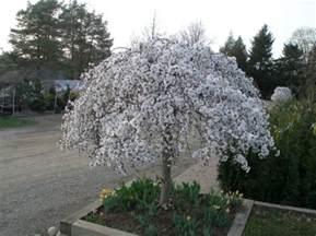 Small Flowering Trees For Small Gardens Flowering Trees Johnston S Evergreen Nursery