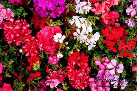 gerani fiori gerani piante da giardino