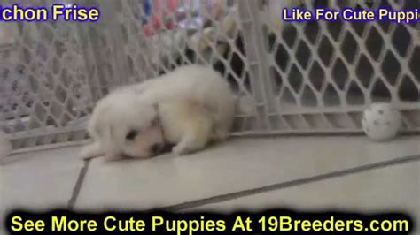 dogs for sale albuquerque bichon frise puppies dogs for sale in albuquerque new