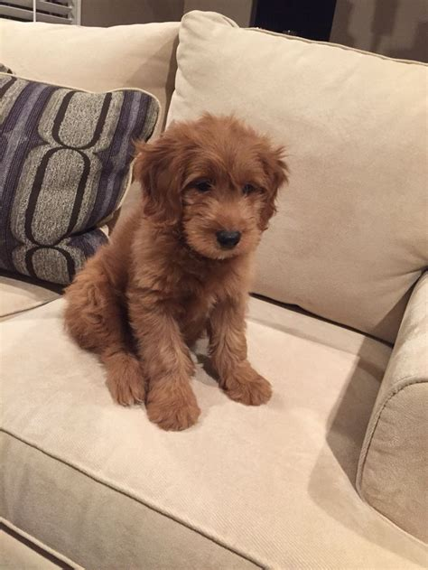 mini goldendoodles louisiana 25 b 228 sta mini doodle id 233 erna p 229 goldendoodle