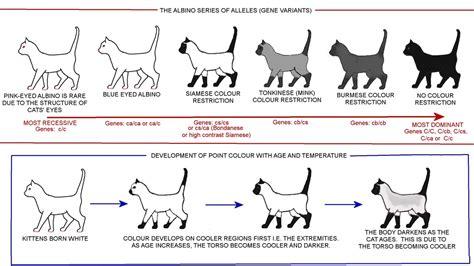 color pattern cat picture cat breeds pinterest genetics cat and cat
