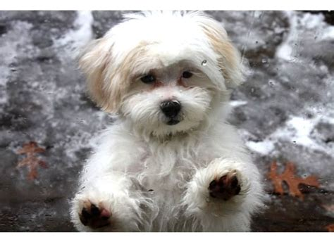 shih tzu vs poodle pictures of shih tzu poodle mix haircuts photo happy heaven