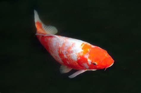gambar ikan koi gambar pemandangan