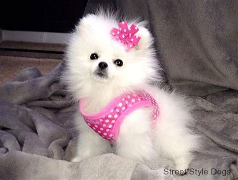 pomeranian temperature 1000 images about pretty in pink on divas tutu and pink