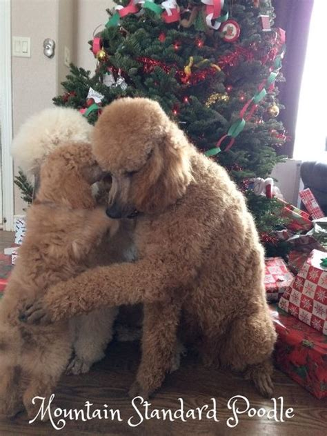 silver standard poodle puppies for sale hug standard poodles those standard poodles
