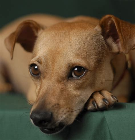 yorkie chihuahua dachshund mix yorkie poo mixed with dachshund chihuahua m5xeu m5xeu breeds picture