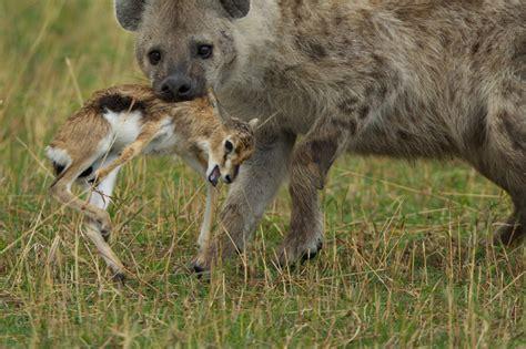 film lion vs hyena 혐 하이에나의 위엄 티드립