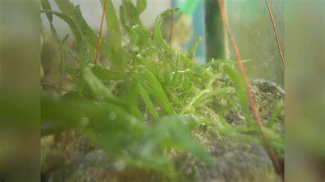 licht im aquarium 6381 caulerpa brachypus caulerpa alge