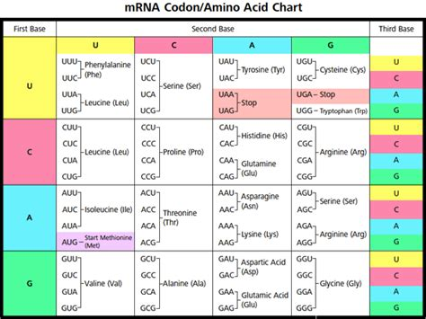 amino acid table codons in mrna amino acids images